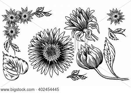 Sunflower Seed And Flower Drawing Set. Hand Drawn Isolated Illustration. Food Ingredient Vintage Ske