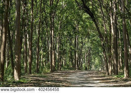 Scenic Road With Canopy Of Tall And Long Sal Trees At Dhikala Jim Corbett National Park Or Tiger Res