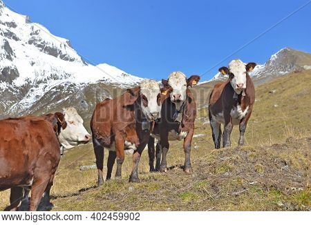 Alpine Brown And White Cows In Mountain Pasture Under Blue Sky