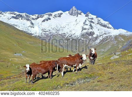 Alpine Brown And White Cows In Mountain Pasture In A Beautiful Mountain Landscape With  Snowy Peak B