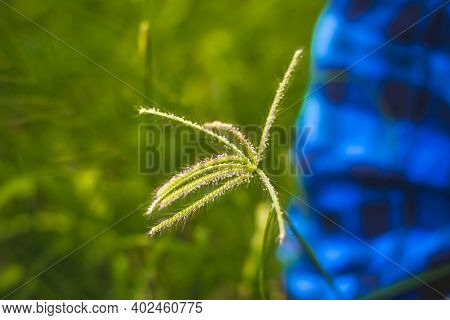 Wind Blown Wild Grass . Flowing Green Yellow Grass Flowers At Sunset. Tall Grass Flow With The Wind.