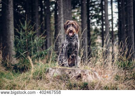 Loving Bitch Bohemian Wire-haired Pointing Griffon Sitting On A Stump, Staring Into The Woods, What
