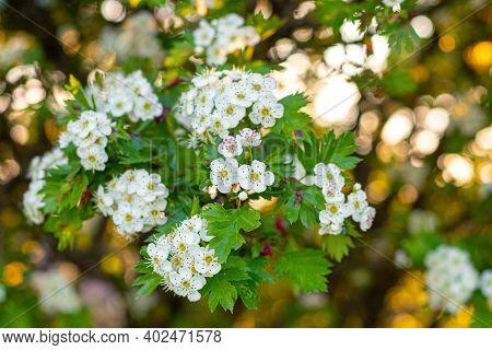White Hawthorn Flowers On The Bush, Hawthorn Blossoms