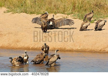 White-backed vultures (Gyps africanus) bathing and basking in sun, Kruger National Park, South Africa