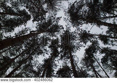 Bottom View Of The Trunk Of Spruce And Green Crowns Of Other Spruces, Against A Blue Sky.