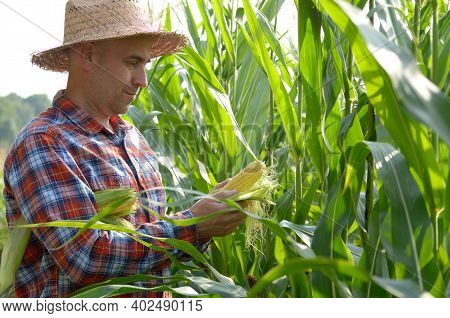 Middle Age Caucasian Farmer Hold Fresh Organic Corn Cobs In His Hands Somewhere In Ukraine. Harvest