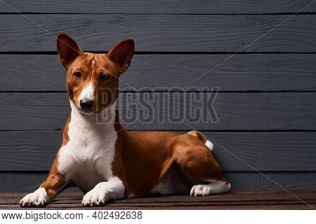 Pedigree Basenji Dog Lying Looking At Camera