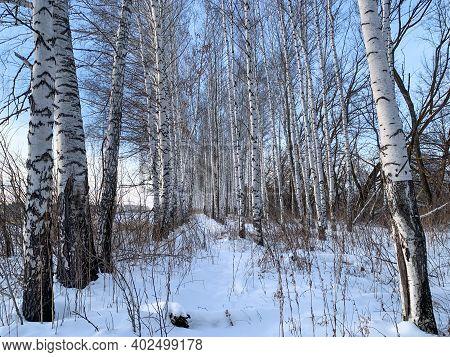 White Birches In Winter Under A Blue Sky. Winter Birch Forest. Winter Nature Fresh Air, Winter Walk