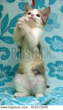 Kitten On A Blue Background Plays Standing On Its Hind Legs