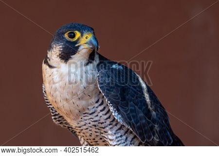 Peregrine Falcon (falco Peregrinus) Very Close Up. Falconry Or Keeping Falcons And Racing Them In Th