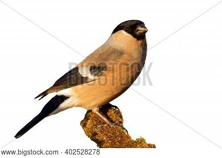 Eurasian Bullfinch Sitting On Mossy Branch Cut Out On Blank