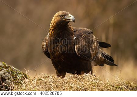 Majestic Golden Eagle With Big Beak Sitting On The Dry Grassland