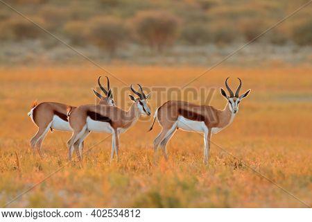 Springbok antelopes (Antidorcas marsupialis) in natural habitat, South Africa