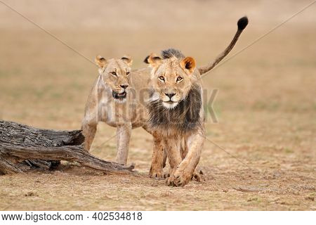 Male and female African lions (Panthera leo), Kalahari desert, South Africa