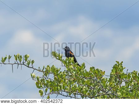 Red Winged Blackbird In A Prairie Bush In The Goose Lake Prairie State Natural Area In Iliinois