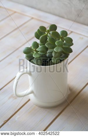 Crassula Plant. Money Tree In A Pot In Form Of Mug. Feng Shui Succes Concept. Vertical Image