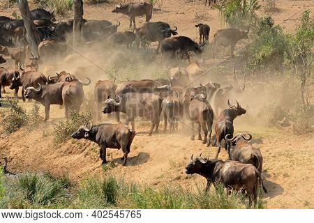 Large herd of African buffaloes (Syncerus caffer), Kruger National Park, South Africa