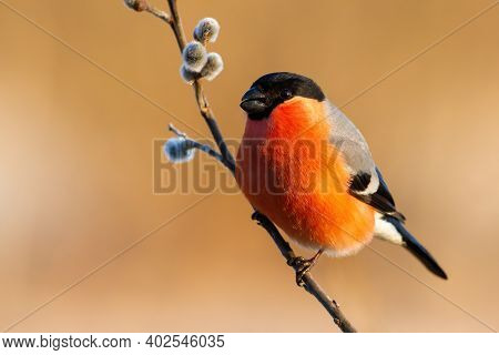 Male Eurasian Bullfinch Sitting On Flowering Twig With Catkins From A Willow Tree