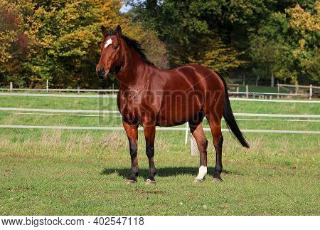 Beautiful Brown Quarter Horse Is Standing On The Paddock
