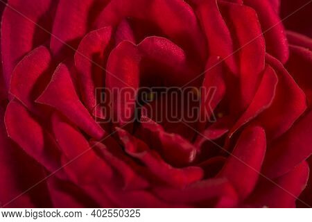 Red Rose Macro, Garden Bush Flower. Close-up With A Shallow Depth Of Field. Natural.