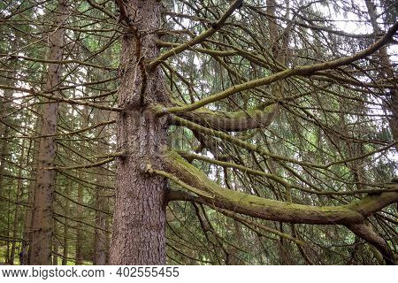 An Old Spruce With Thick Mighty Branches In A Spruce Forest. Gloomy Tree