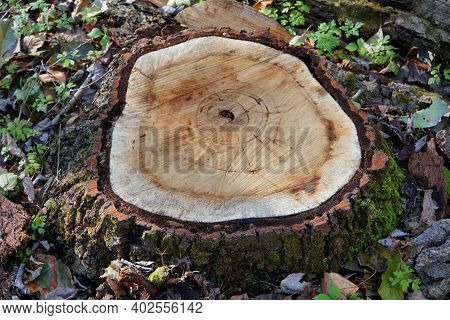 A Large Tree Stump Of A Dead Tree