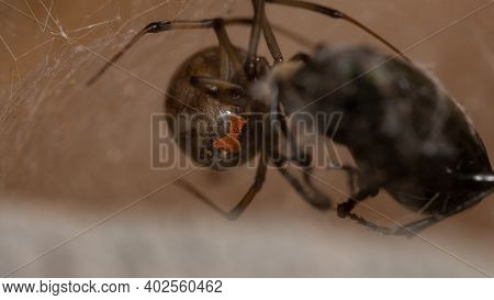 Adult Female Brown Widow Of The Species Latrodectus Geometricus With Selective Focus On The Red Hour