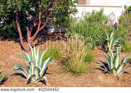 Drought Tolerant Chaparral Shrubs Including Agave Plants Taken At A Desert Garden In A Residential Y