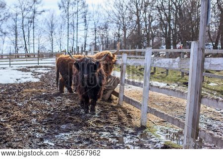 Horned Highland Cattle Standing In A Sunny Early Spring Day On The Farm With A Wooden Fence. Bos Tau