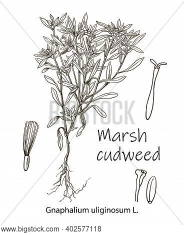 Cudweed. Gnaphalium Uliginosum. Vector Hand Drawn Herb. Botanical Plant Illustration. Vintage Medici
