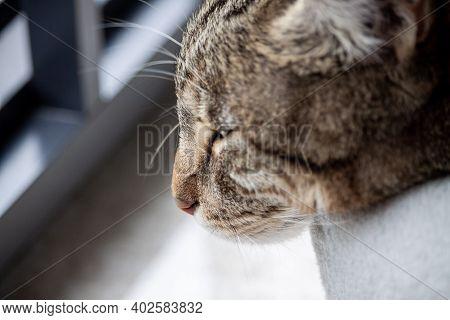 Snout Of Sleepy Cute Tabby Cat Close Up