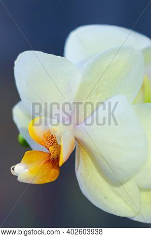 White, Yellow Phalaenopsis Orchid With Dewdrop, Macro, Closeup, On Dark Background, Vertical