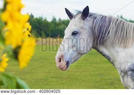 Portrait Of White Gray Horse On Summer Meadow, Equine Pasture With Iiluminating Yellow Flowers Sunfl