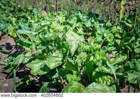 Beet Tops. Green Tops Of Sugar Beet. Beets Growing In The Garden. Leaves, Feed For Animals, Bio Agri