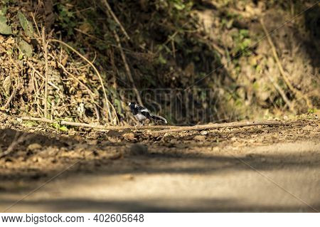 Spotted Forktail Or Enicurus Maculatus Bird Perched On Branch In Foothills Of Himalaya Uttarakhand I