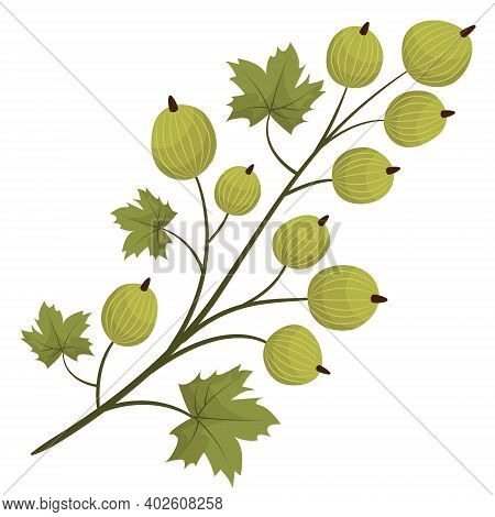 Gooseberry Branch For Packaging, Posters, Banners. Vector Illustration.