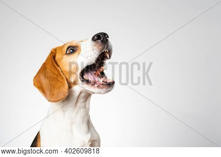 Dog Headshoot Isolated Against White Background. Beagle Dog Catching A Treat In Midair