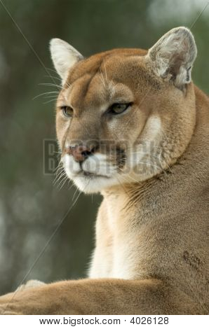Close Up Portrait Of Captive Cougar