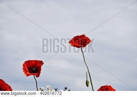 Beautiful Blossom Poppy Flowers By A Blue Sky