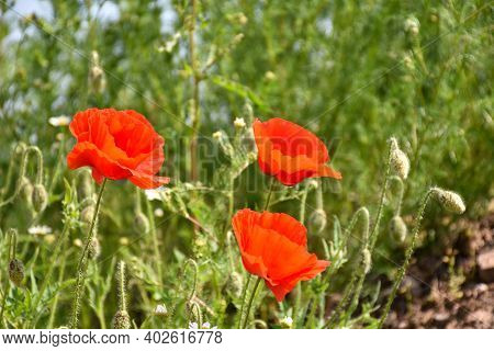 Blossom Red Poppies By A Green Natural Background