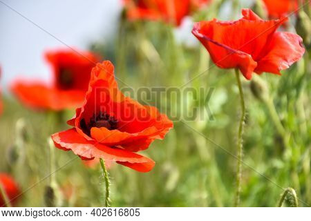 One Poppy Flower In Focus In A Field
