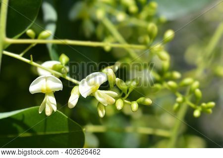 Weeping Japanese Pagoda Tree Flowers - Latin Name - Sophora Japonica Pendula