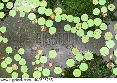 Top View Of The Lily Pond On The Island Of Mauritius.botanical Garden On The Paradise Island Of Maur
