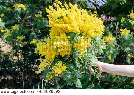 A Bouquet Of Mimosa In Hand With Bunches Of Fluffy Delicate Flowers. Background Of Yellow Mimosa Tre