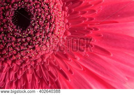Macro Photography Of Pink Gerbera Flower, Fresh Nature Plant Close-up. Floral Texture Pattern For Ba