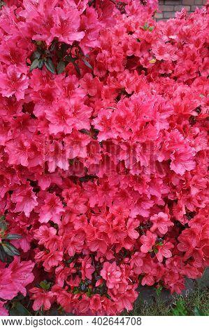 Azaleas Were In Full Bloom Everywhere, Close-up Of Lush Azalea Blooms.