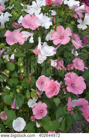 Lavatera Bush Red-white Flowers Close Up. Flowering Flowers In The Garden, Pleasant Aromas Of Summer