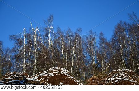 Birch Growth That Has Been Overloaded With Wet Snow Or Icy Ice. Broken Branches And Crowns Of White