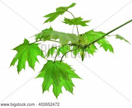 Branch Of Maple Tree With Green Spring Maple-leafs Isolated On White Background