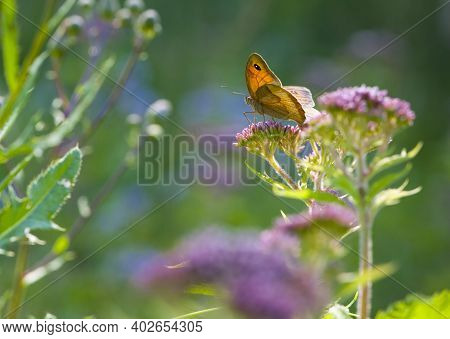 Orange Butterfly Sits On A Pink Flower On A Green Background. Delicate Butterfly On A Beautiful Mead